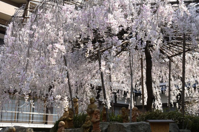 六角堂 桜