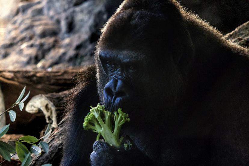 ブロッコリーを食べるゴリラ