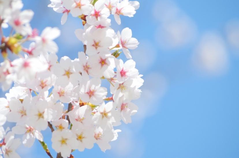 フリー画像、桜、卒業、青空
