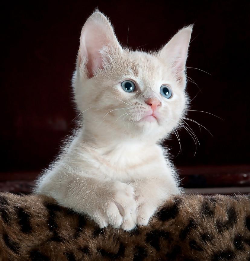 猫、ペット、可愛い、フリー素材